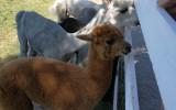 Alpakų auginimo ūkyje