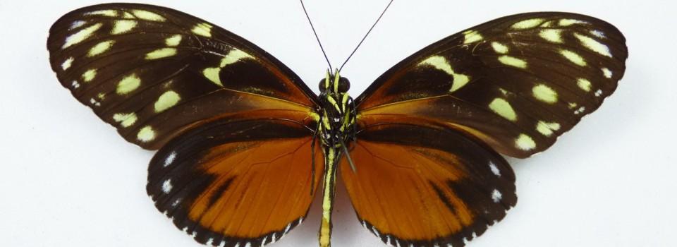 Išsirito pirmasis drugelis