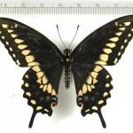 Drugelis Papilio Polyxenes